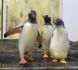 Gay penguin couple Sphen and Magic pictured with their chick Sphengic.