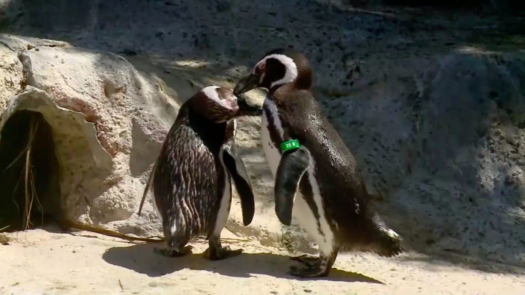 Gay penguin couple are the best parents at San Francisco Zoo