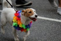 Rainbow gay pride dog