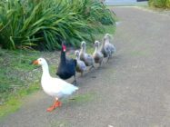 Henry the swan and Thomas the goose