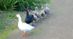 Thomas the blind bisexual goose (left) and Henry the bisexual swan.
