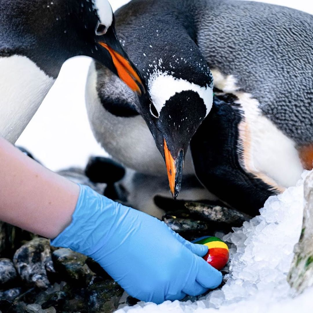 lesbian penguin couple welcome baby chick