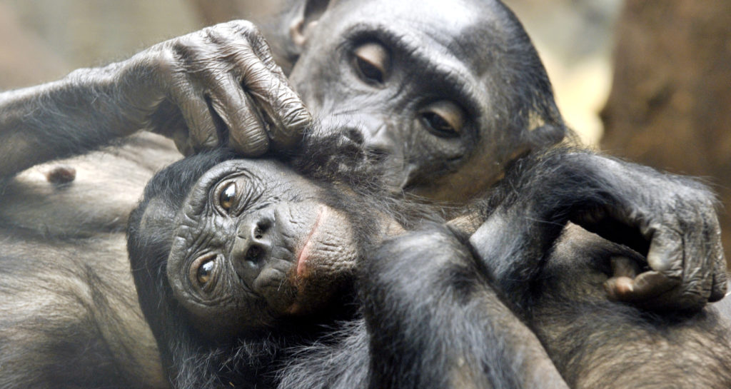 Two pygmy chimpanzees delouse eachother (BORIS ROESSLER/AFP/Getty Images)