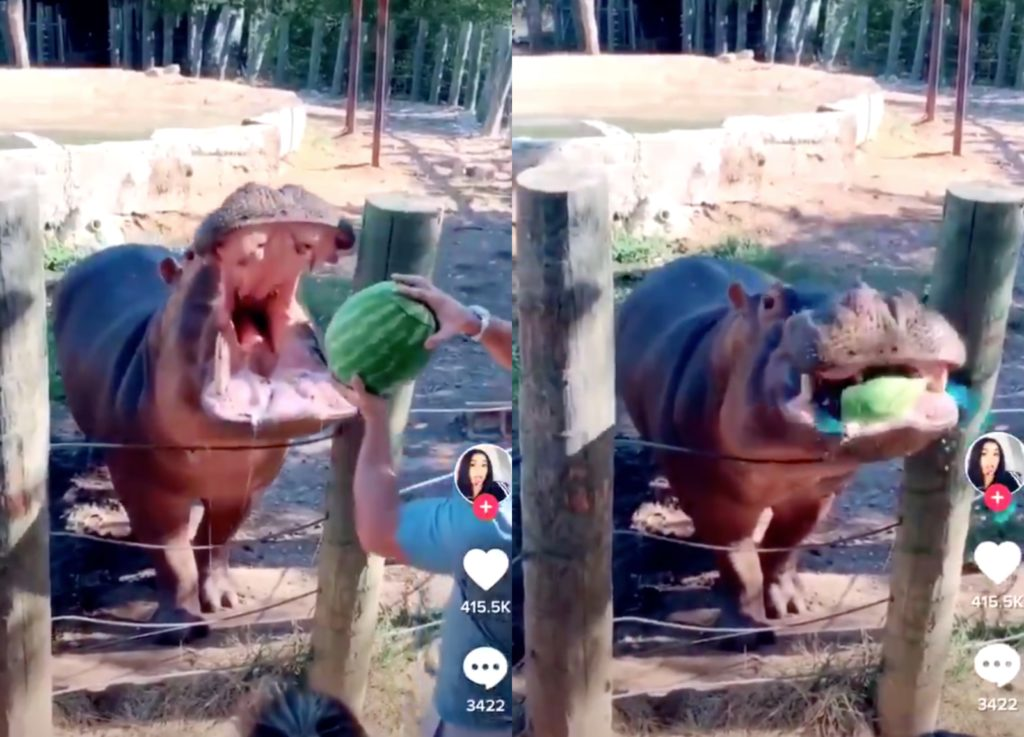Couple throws watermelon into hippo's mouth in 'worst gender reveal' ever