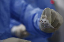 A gloved hand holding a lab mouse