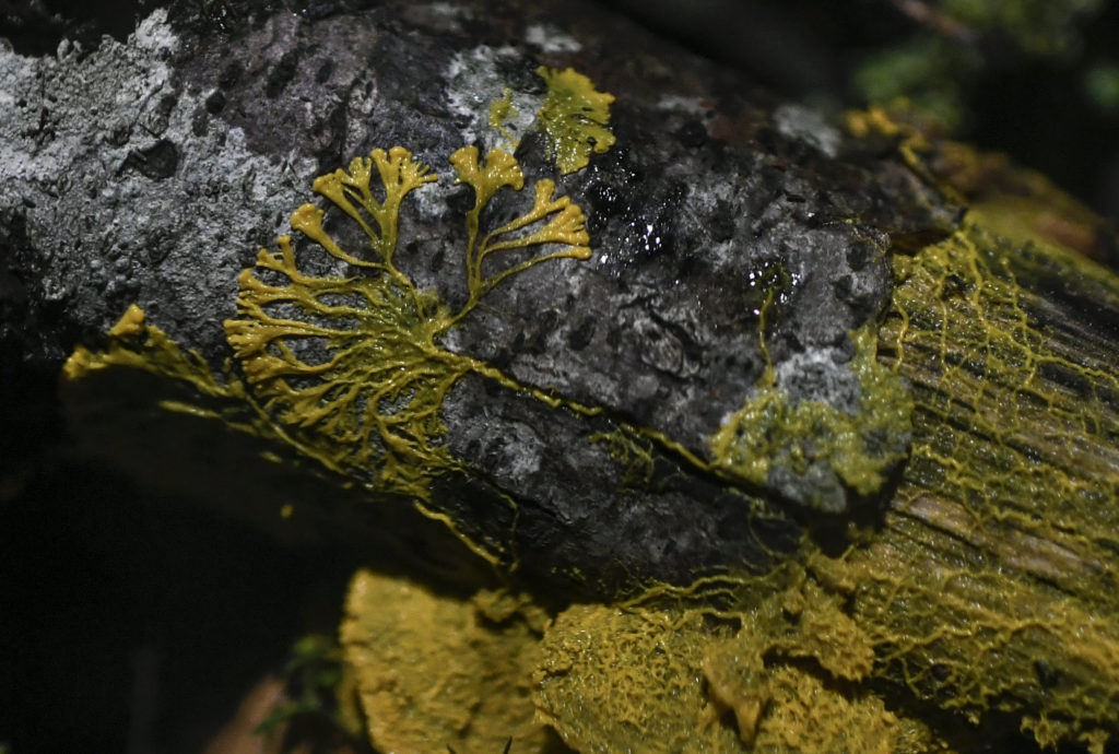 Slime mold dubbed the 'blob' that has 720 different sexes unveiled in Paris