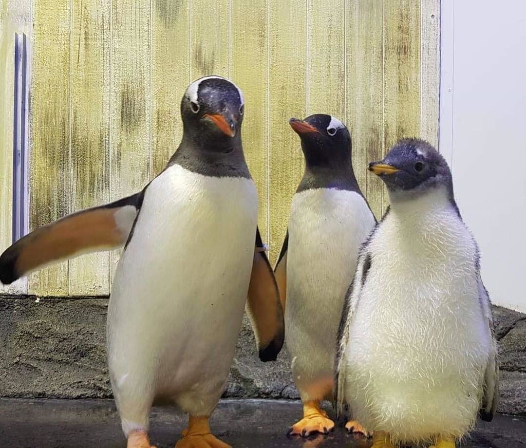 gay penguin chick