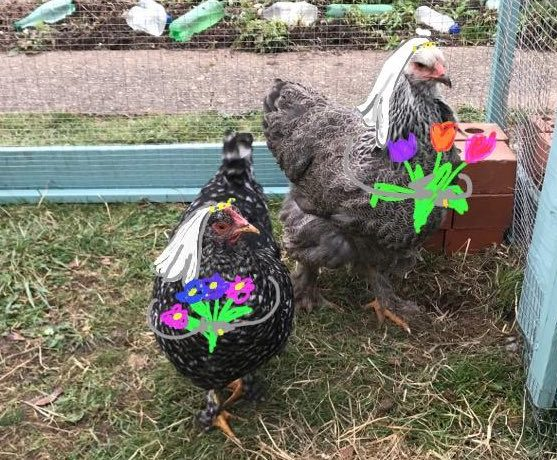 These lesbian chickens are the ultimate quarantine love story