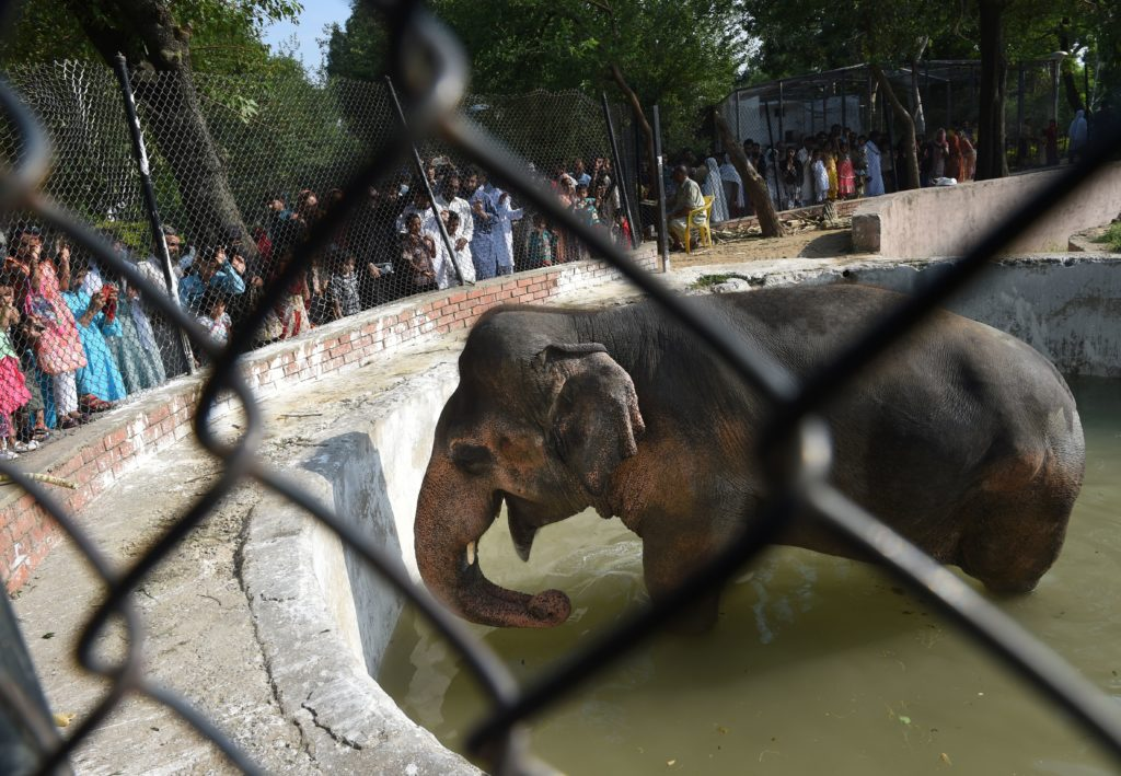Pakistani residents gather around elephant Kaavan at the Marghazar Zoo on the Eid holidays in Islamabad on July 7, 2016. (FAROOQ NAEEM/AFP via Getty Images)