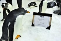 Sphen and Magic, two male gentoo penguins at the Sea Life Aquarium in Sydney