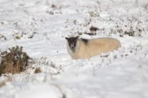 sheep watches as it stands in snow that has settled on Dartmoor on February 2, 2012