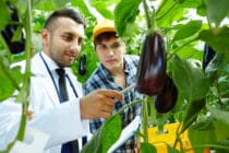 Man in lab coat inspecting aubergines