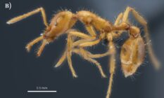 Newly-discovered ant species given non-binary scientific name
