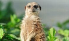 Picture of a meerkat staring at the audience as a TikToker jokes the animal should be adopted as a new gay stereotype